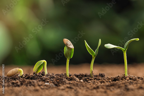 Fototapeta Little green seedlings growing in fertile soil against blurred background