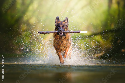 Canvas Print German shepherd dog with a big branch on her mouth running on the water of a riv