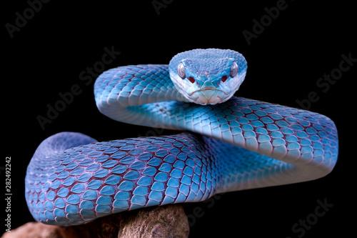 Photo Blue viper snake closeup face, viper snake, blue insularis, Trimeresurus Insular