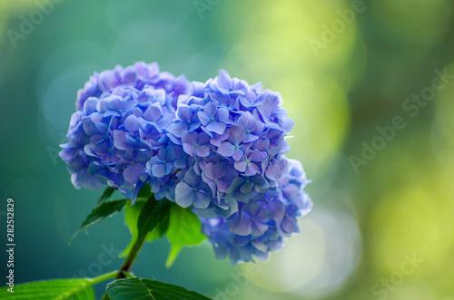 Fototapeta blue hydrangea flowers close up