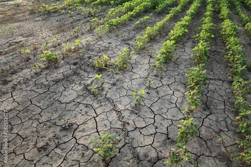 Photo Agriculture, damaged soybean plant in field