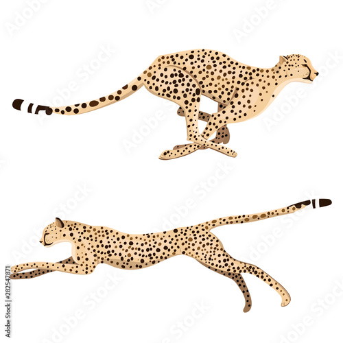 Cuadros en Lienzo Set of two running cheetahs isolated on a white background