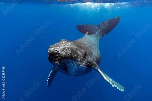 Canvas Print Baby Humpback Whale in Blue Water