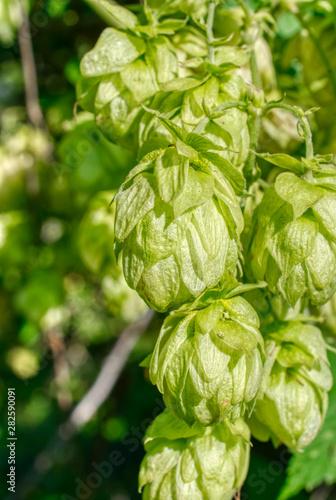 Hop cones, close-up shot Fototapet