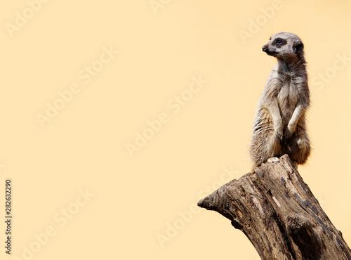 Obraz na plátně Cute meerkat on the lookout