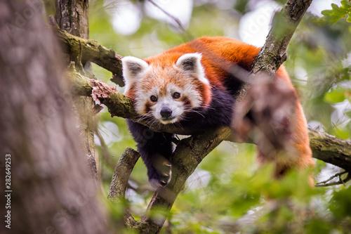 panda red Fototapeta