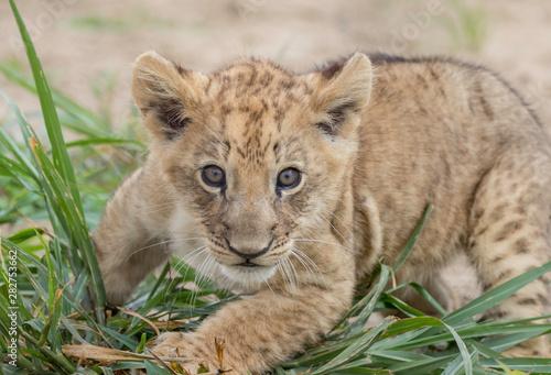 lion cub simba at keystone safari Pennsylvania Fototapeta