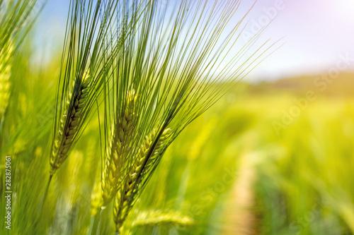 Foto spikelets of green brewing barley in a field.
