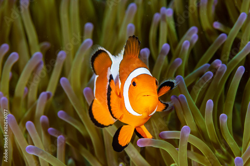 Fotografering Cute Common Clownfish in the Tentacles of its Host Anemone on a Tropical Coral R