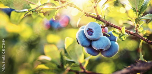 Wallpaper Mural Juicy and Fresh Blueberries with Green Leaves