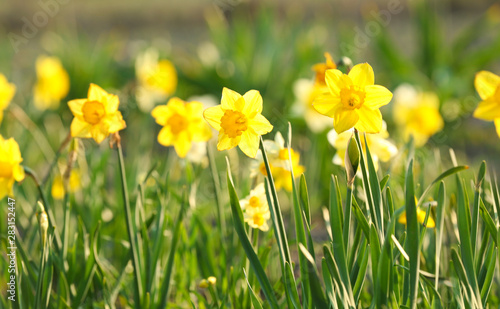 Fotografie, Obraz Field with fresh beautiful narcissus flowers on sunny day