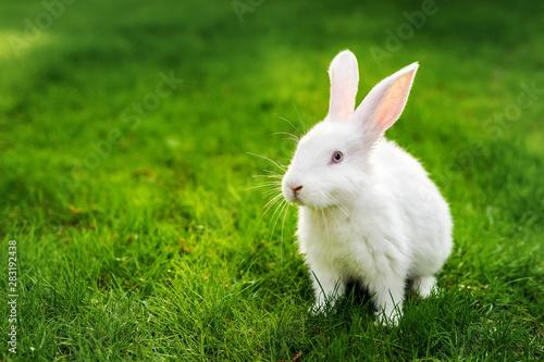 Foto Cute adorable white fluffy rabbit sitting on green grass lawn at backyard