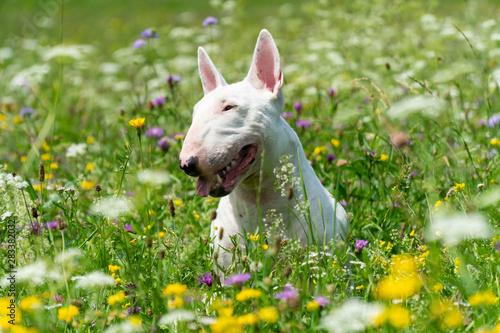 Fotografie, Obraz Portrait photo of white bull terrier outdoors on a sunny day
