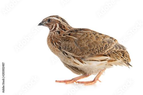 Wild quail, Coturnix coturnix, isolated on a white background Fototapeta