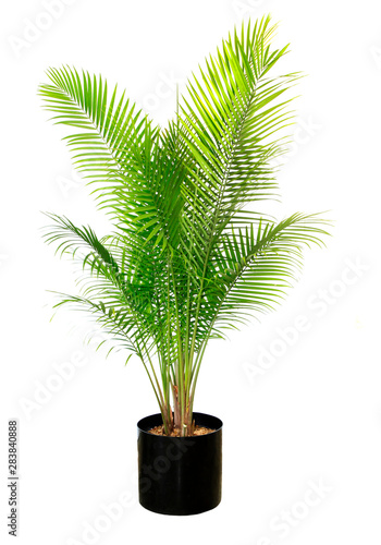 Obraz na plátně Majesty Palm Isolated on White