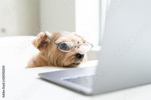 眼鏡をかけてパソコンを見るノーフォークテリア犬 Fototapet