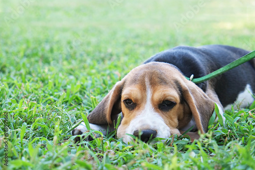 Fotografie, Obraz Portrait of funny young beagle puppy on the walk in the park, resting on juicy green mowed lawn
