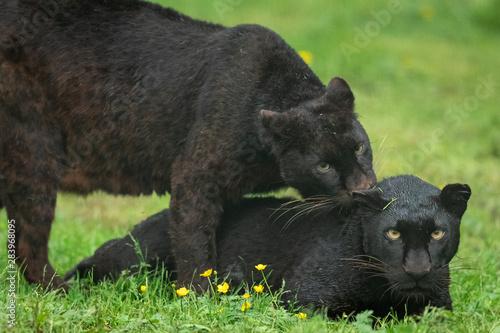 Fototapeta Portrait of black panther