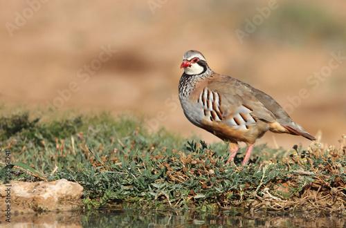 Fototapeta Red legged partridge, Alectoris rufa, partridge