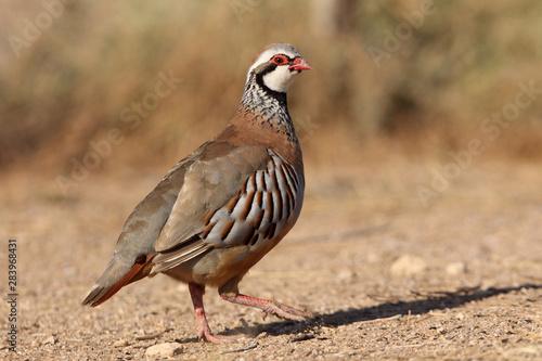 Obraz na plátně Red legged partridge, Alectoris rufa, partridge