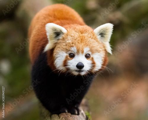 Obraz na płótnie Red Panda in the tree