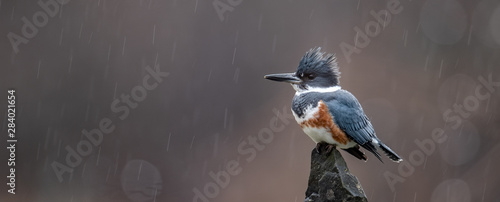 Photo Kingfisher on a Perch in the Rain