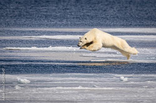Canvas Print Hunting Polar Bear