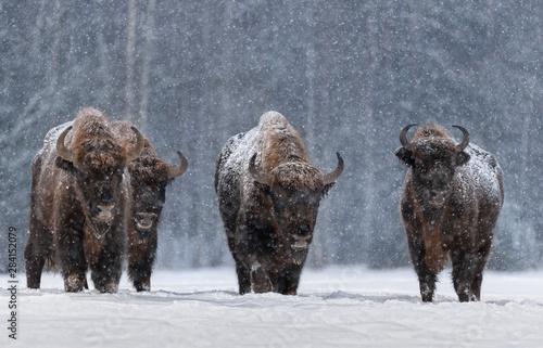 Stampa su Tela Winter Image With Four Aurochs Or Bison Bonasus, The Last Representative Of Wild Bulls In Europe