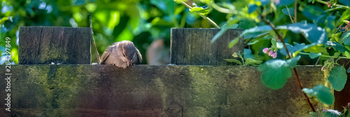 Leinwand Poster Sparrow fledgling perched a wooden fence looking down at the ground