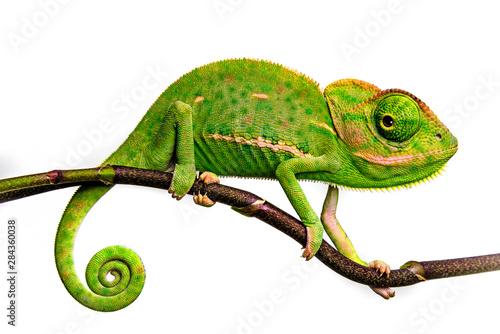 Obraz na plátně cute funny chameleon - Chamaeleo calyptratus on a branch