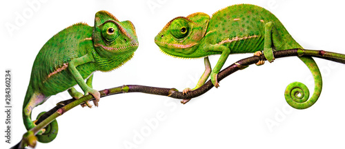 Fotografie, Obraz green chameleon - Chamaeleo calyptratus