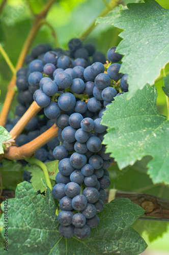 Photo NA; Canada; British Columbia; Okanagan Valley; Cabernet Sauvignon Grapes (Select