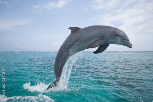 Photo Bottlenose Dolphins (Tursiops truncatus) Caribbean Sea