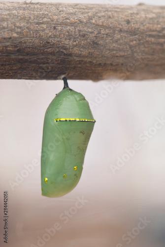 Leinwand Poster USA, CA, Pismo Beach. Monarch Butterfly pupa