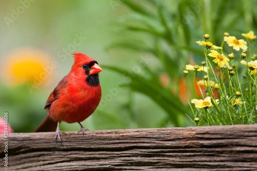 Canvas Northern Cardinal (Cardinalis cardinalis) male on fence near flower garden, Marion, Illinois, USA