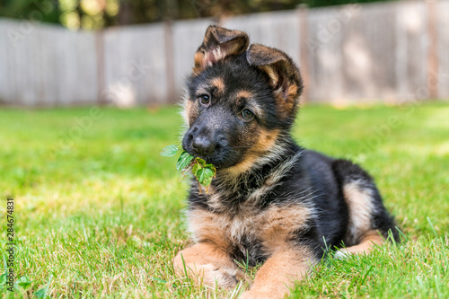 Canvas Print German Shepherd Puppy with leaves in mouth.