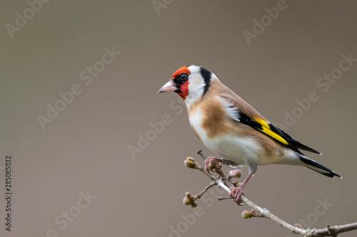 Valokuvatapetti Goldfinch winter profile portrait