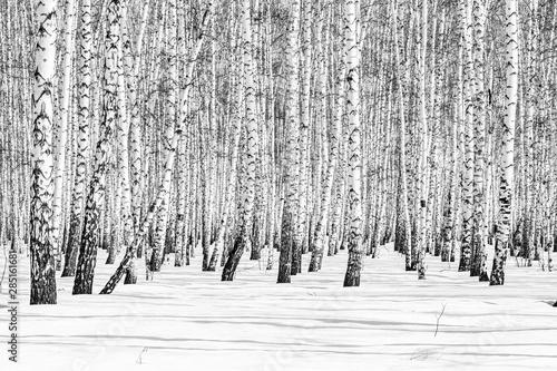Fotografiet Black and white photo, birch forest winter landscape.