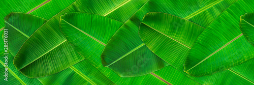 Fotomural Fresh green banana leaves texture abstract background