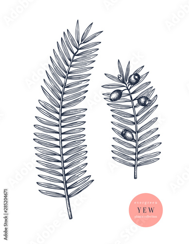 Fotografia European yew vector illustration