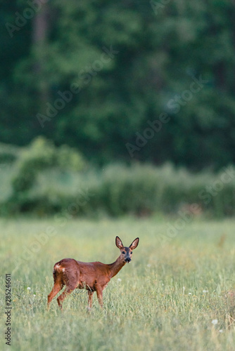 Wallpaper Mural Roe deer standing in meadow with tall grass