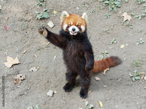 Fotografia Cute lesser panda (red panda) standing with its legs and tail, waving paw to ask for food, acting like say hello, funny animal behavior