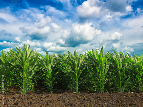 Green field with young corn Fototapeta
