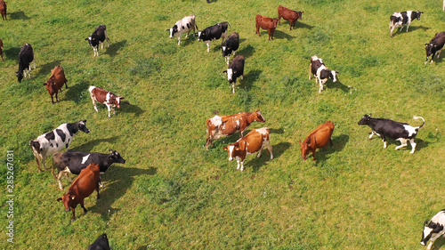 Fotografie, Obraz Aerial view of cows herd grazing on pasture field, top view drone pov , in grass field these cows are usually used for dairy production