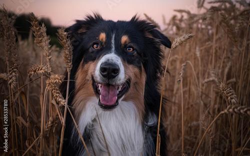 Fotografia Australian Shepherd