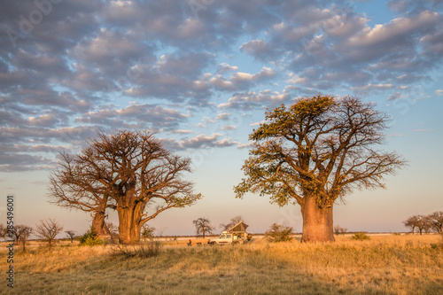 Leinwand Poster Camping under baobab trees in Botswana
