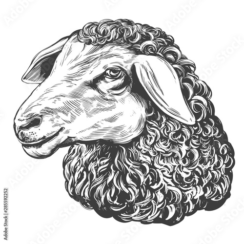 Fotografia sheep hand drawn vector illustration realistic sketch