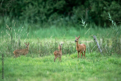 Roe deer doe with two fawns in meadow. Fototapeta
