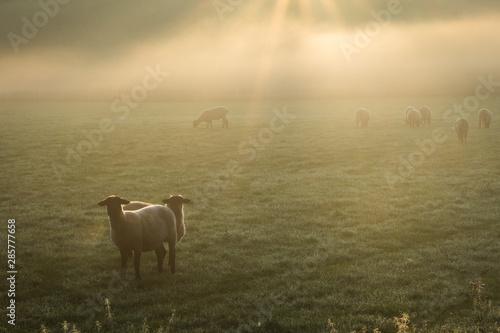 Stampa su Tela Schafe im Frühnebel auf den Ruhrwiesen in Duisburg
