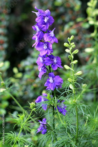 Photo Larkspur or Delphinium perennial flowering plant with tall erect stem full of ma